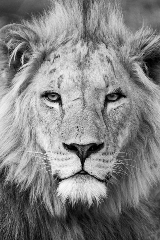 Black and white photo close-up of lion looking straight at camera