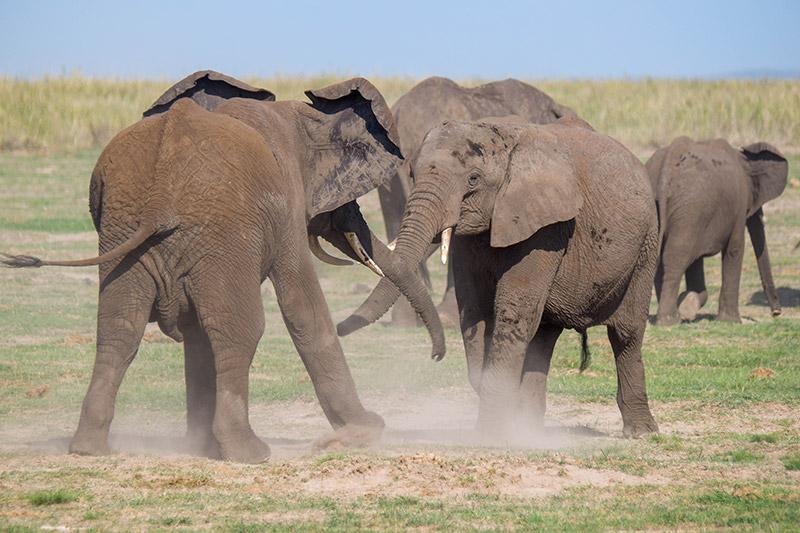Two elephants fighting in the dust in Kenya
