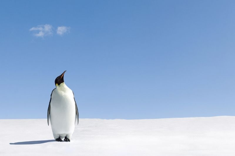 Penguin on ice looking to sky
