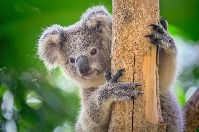 Koala holding on to tree
