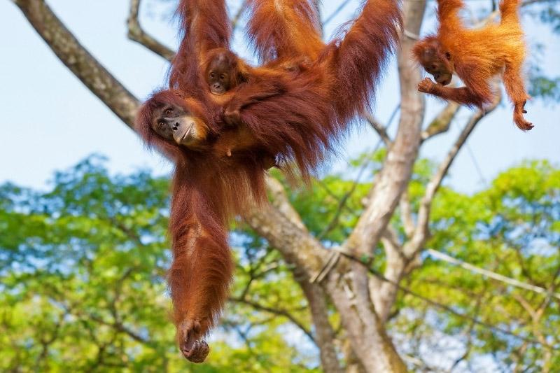 Orangutans swinging through trees in Borneo