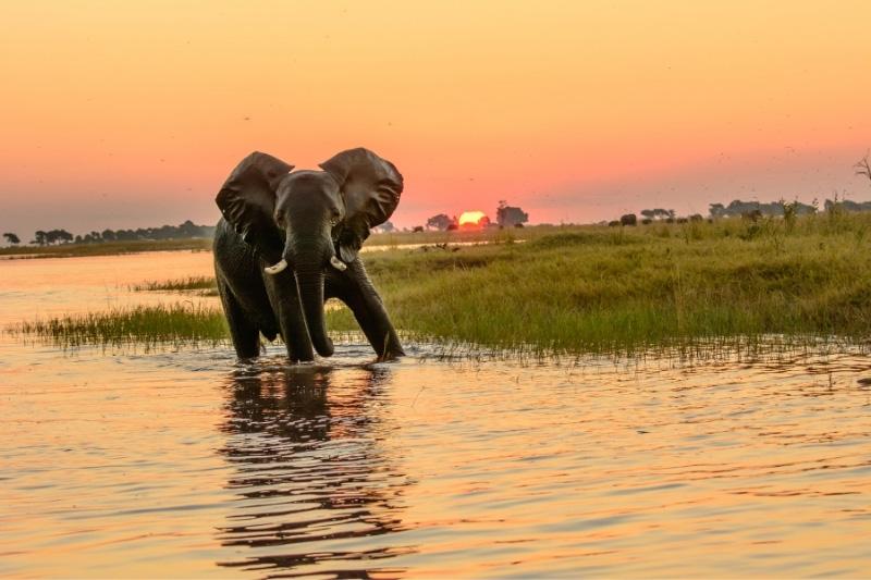 Elephant in front of sunset standing in the water of Okavango Delta, Botswana