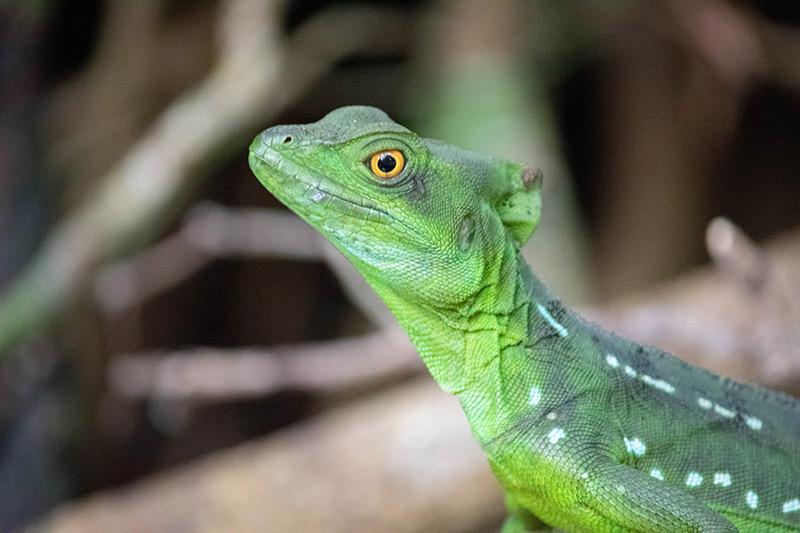 Common basilisk lizard looking at camera