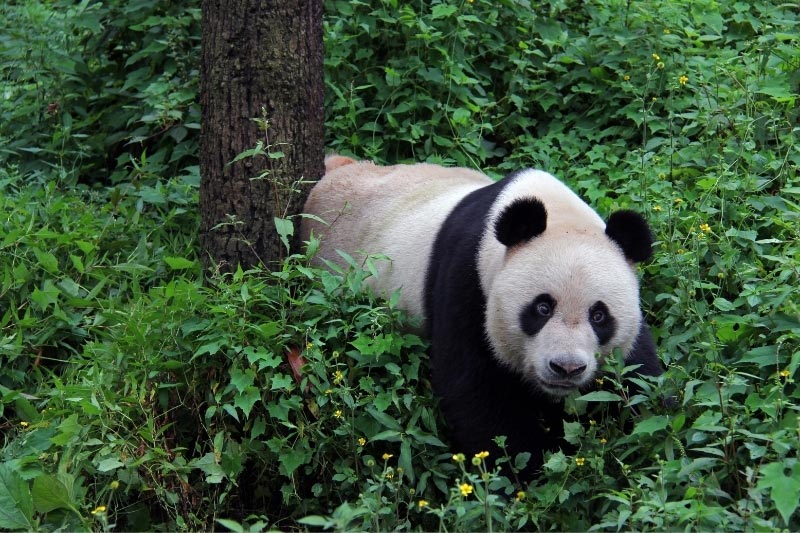 Giant panda in forest in China