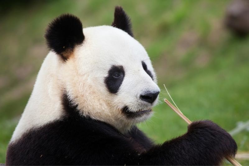 Giant panda eating bamboo in close up