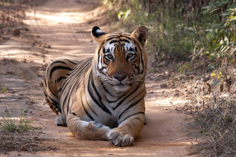 Tiger lying on ground, looking at camera in Ranthambore India