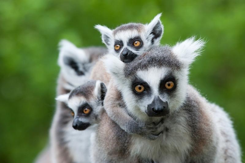 Family of ring tail lemurs in Madagascar