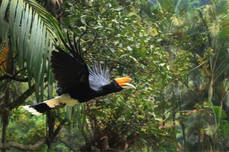 Hornbill flying through rainforest in Malaysia