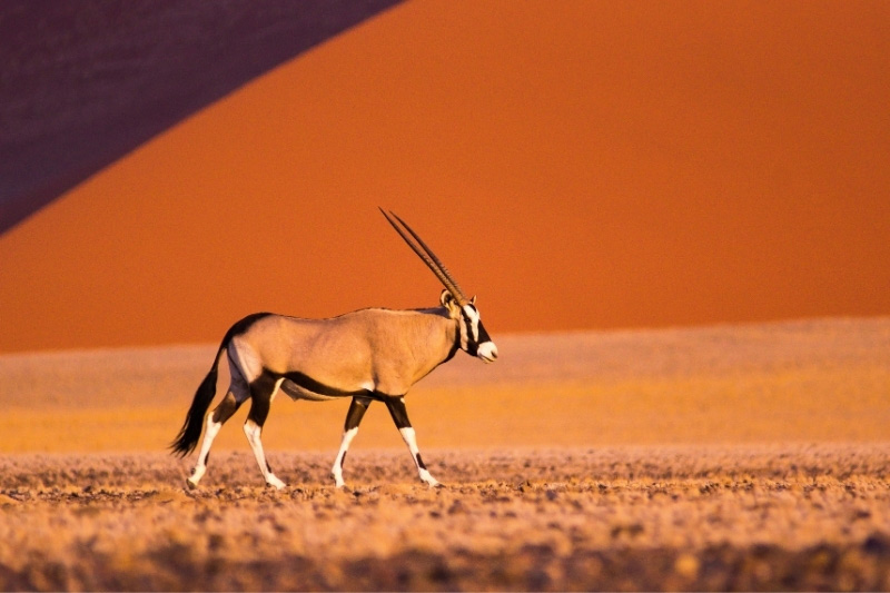 Oryx in Namibia in front of sand dune