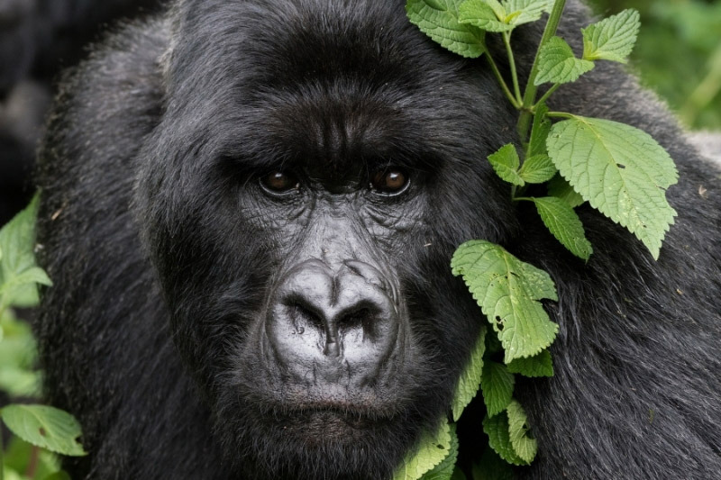 Gorilla close up looking at camera