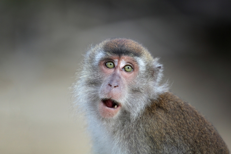 Close up macaque looking at camera in Singapore