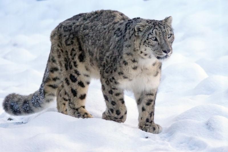 Snow leopard walking through snow