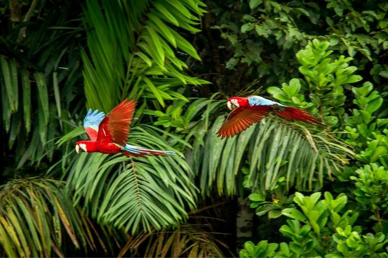 Two parrots flying in front of palm leaves in jungle