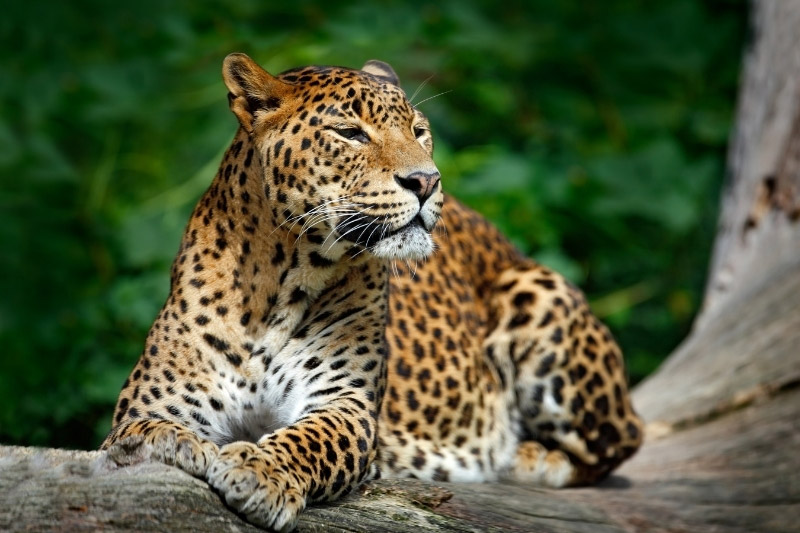 Leopard on a tree branch in Sri Lanka