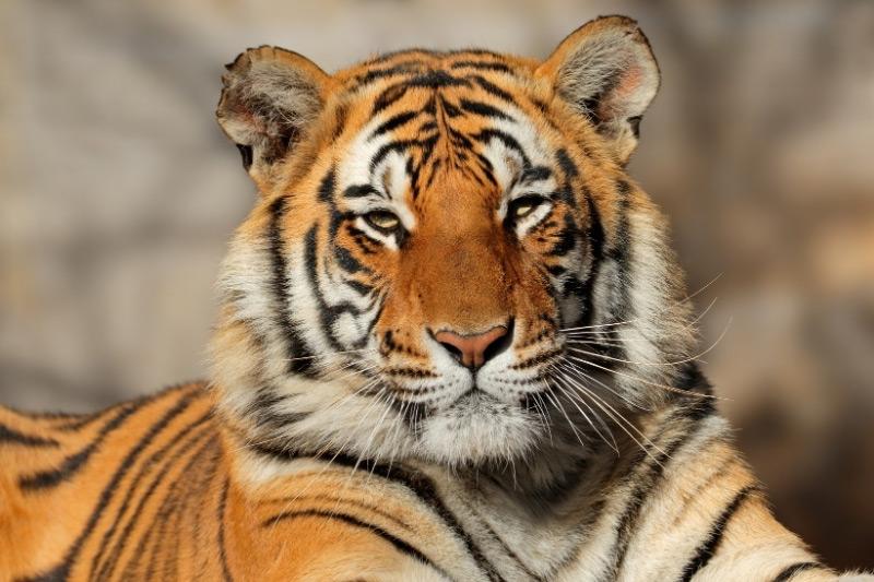 Close up of a tiger looking at a camera