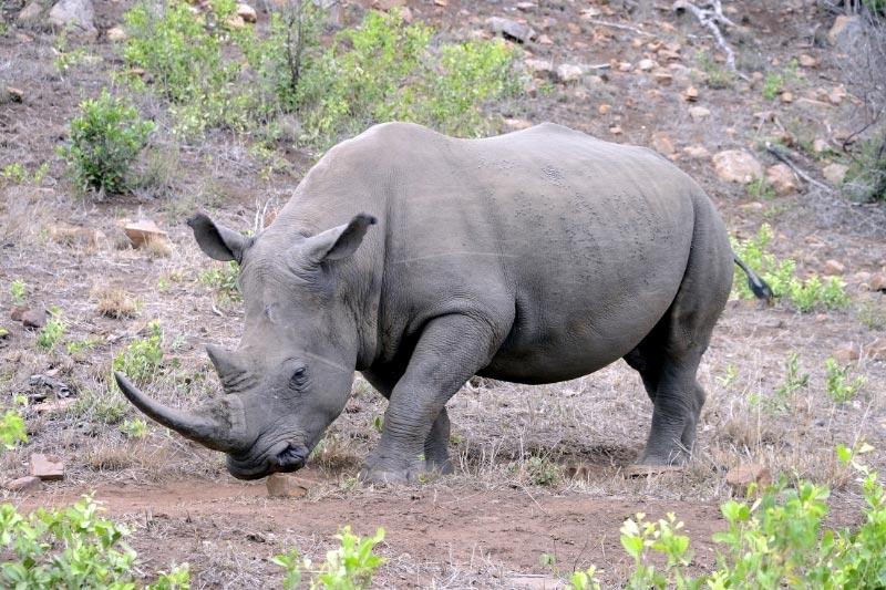 White rhinoceros in Hluhluwe Imfolozi