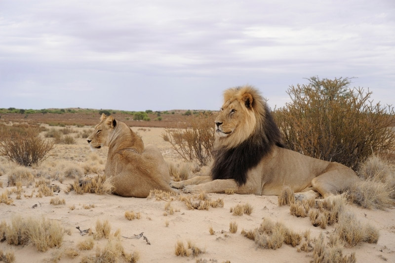 Black maned lion and lioness Kgalagadi Transfrontier Park