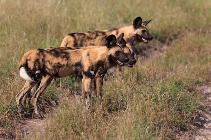Three wild dogs in Kruger National Park