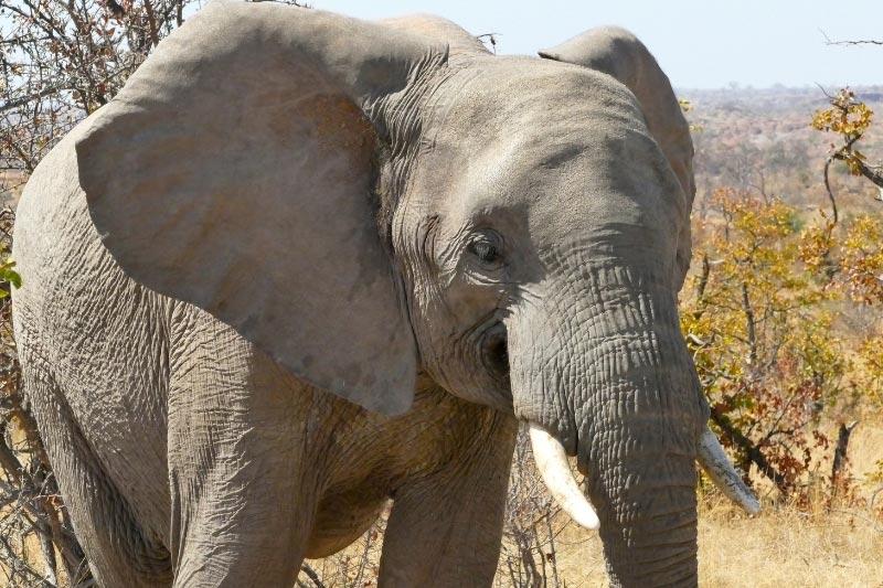 Elephant in Mapungubwe NP