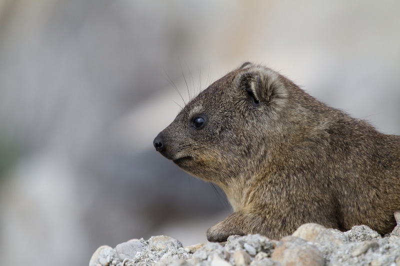 Rock hyrax or dassie in Table Mountain National Park
