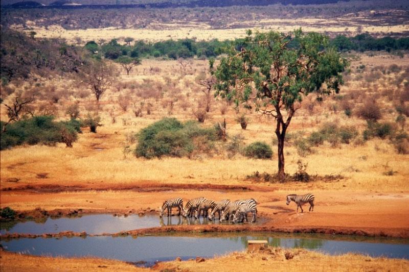Zebra drinking from a waterhole in Tsavo National Park, Kenya