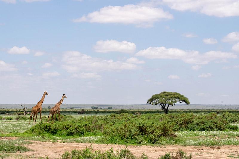 Two giraffe walking towards acacia tree in Kenya