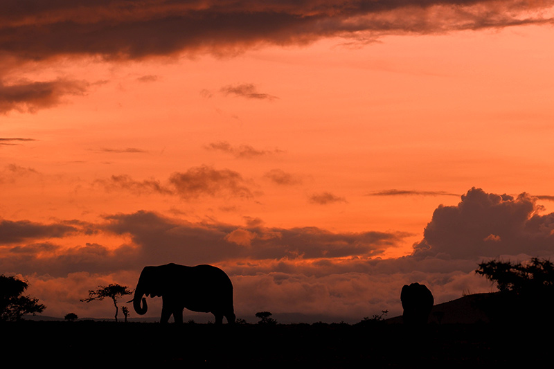 Silhouette African elephant in front of orange sunset