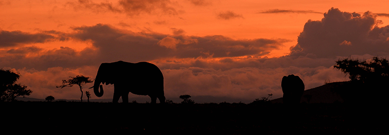 African elephant in silhouette against orange sunset