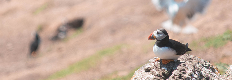 A puffin sitting on a rock on Skomer Island, Pembrokeshire, Wales